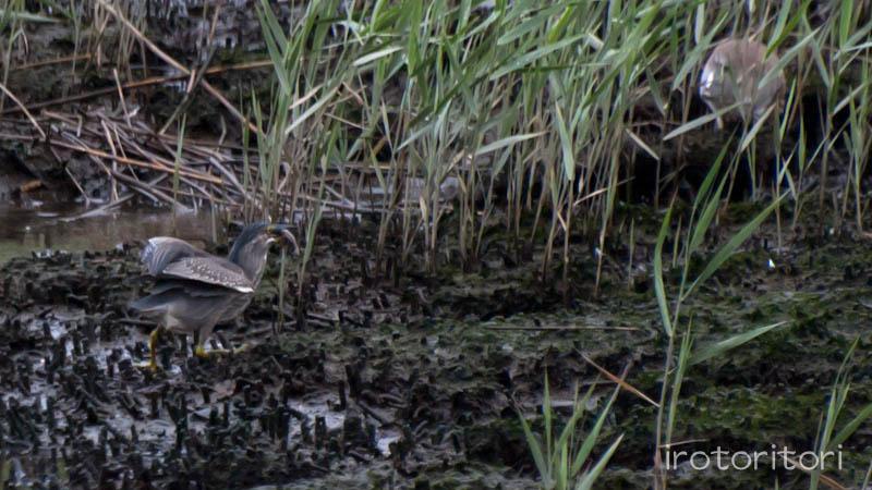 葛西臨海公園 アカガシラサギ+ササゴイ  2011/08/28_d0146592_027488.jpg