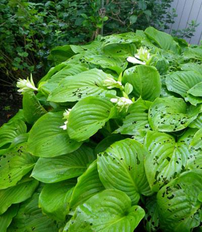 マルバタマノカンザシほか、夏の花と虫の音など_a0136293_1336987.jpg