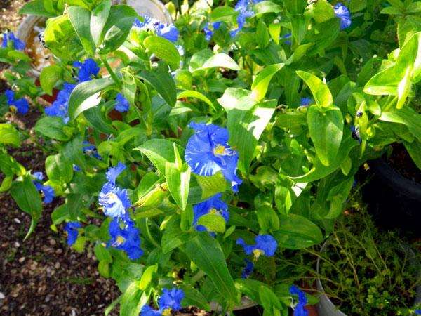 マルバタマノカンザシほか、夏の花と虫の音など_a0136293_13453929.jpg