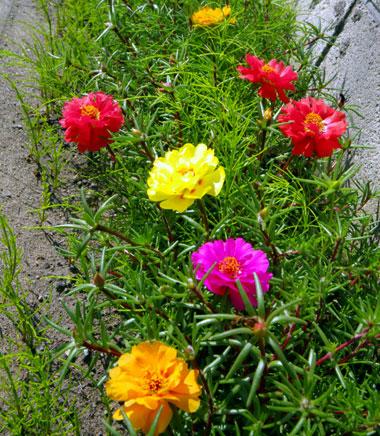 マルバタマノカンザシほか、夏の花と虫の音など_a0136293_13465319.jpg