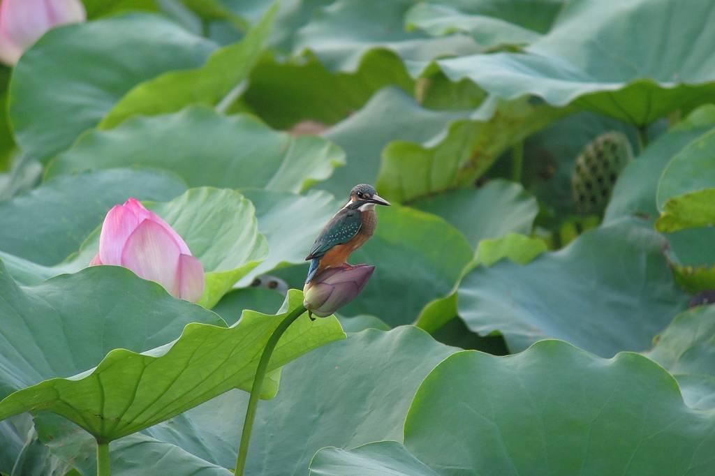 ファミリーで「蓮カワセミ」/季節外れの「山吹の花」_b0024798_9102352.jpg