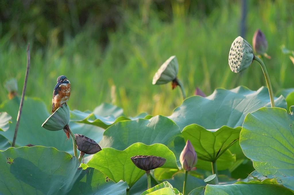 ファミリーで「蓮カワセミ」/季節外れの「山吹の花」_b0024798_9105556.jpg