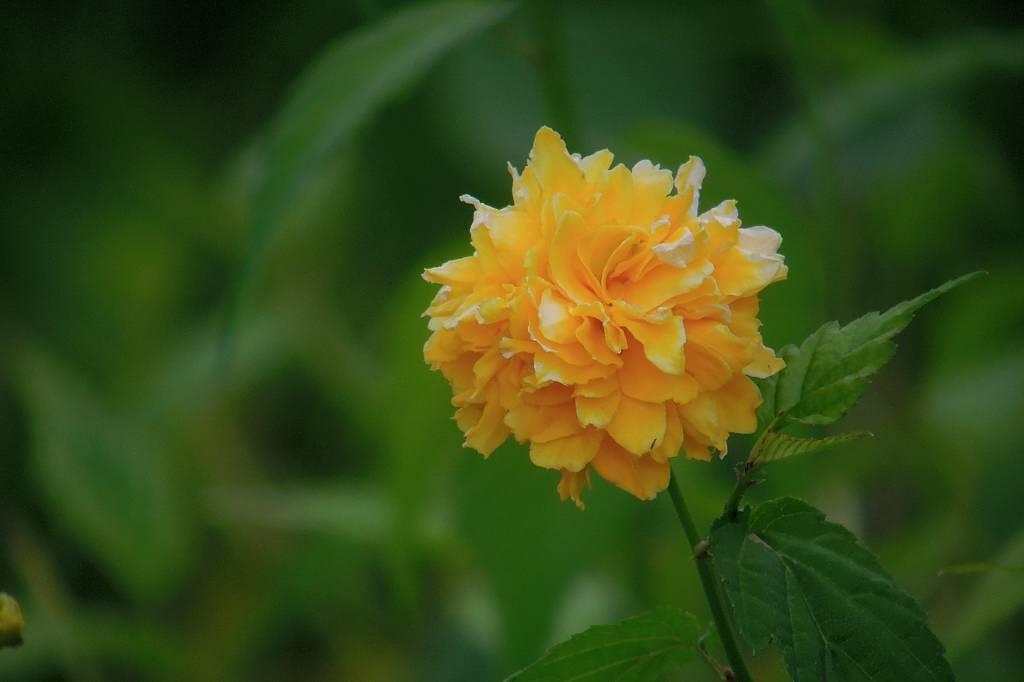 ファミリーで「蓮カワセミ」/季節外れの「山吹の花」_b0024798_9125746.jpg