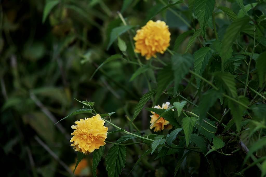 ファミリーで「蓮カワセミ」/季節外れの「山吹の花」_b0024798_9131631.jpg