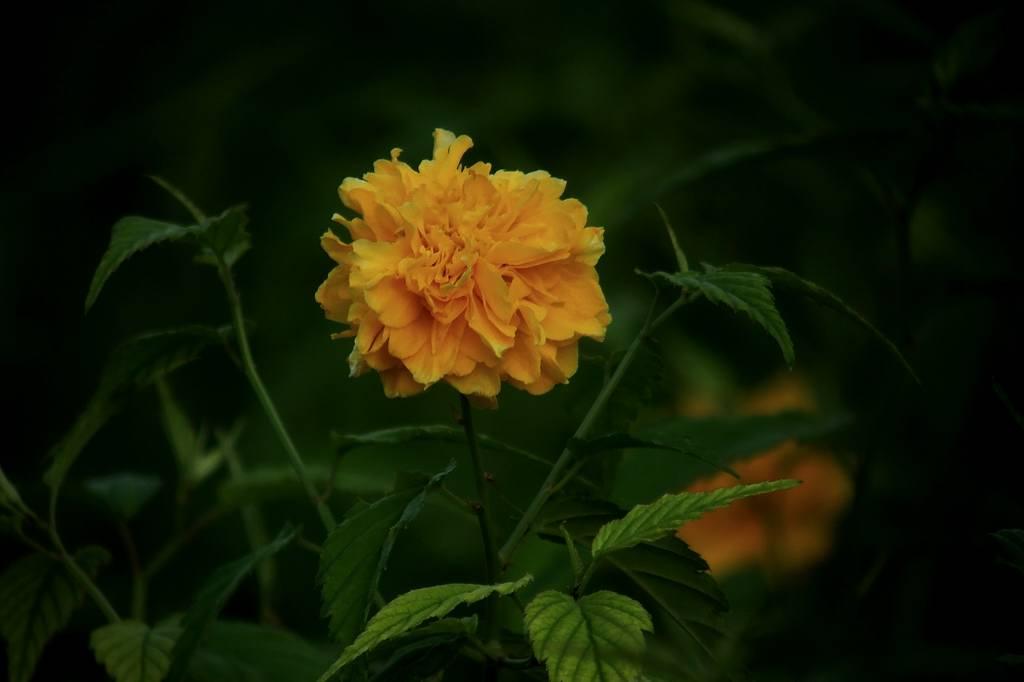 ファミリーで「蓮カワセミ」/季節外れの「山吹の花」_b0024798_913438.jpg
