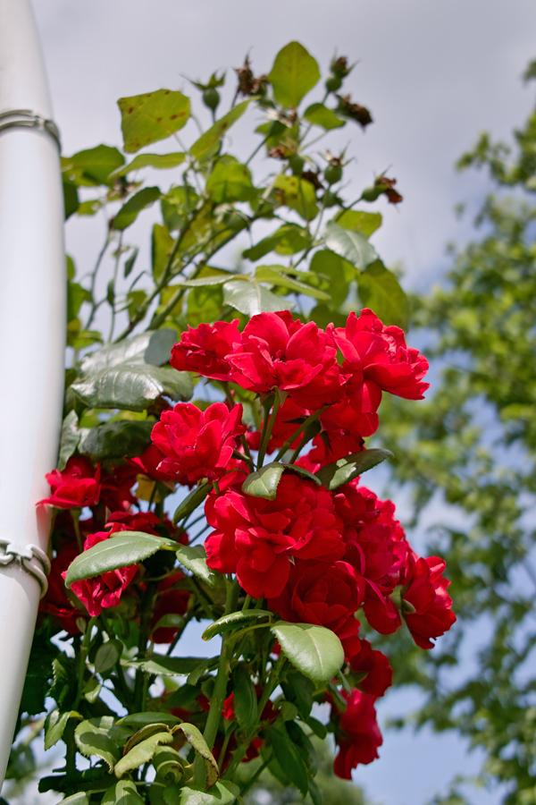 夏のDP2x スナップ(後編) ゆいの花公園_c0223825_6451237.jpg