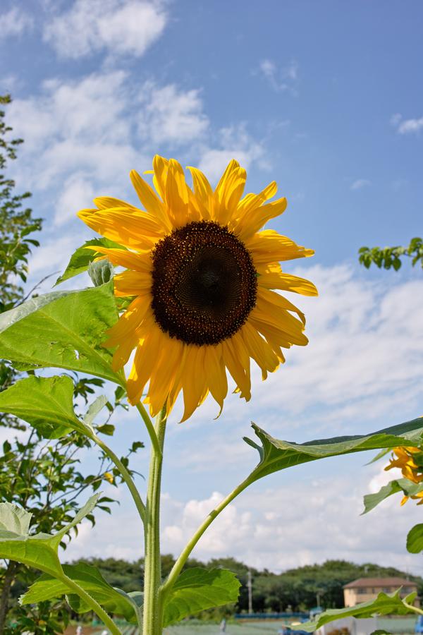 夏のDP2x スナップ(後編) ゆいの花公園_c0223825_6483344.jpg