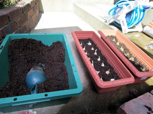 大蒜・アサツキを植える・・・阿野音楽教室_f0051464_17261211.jpg