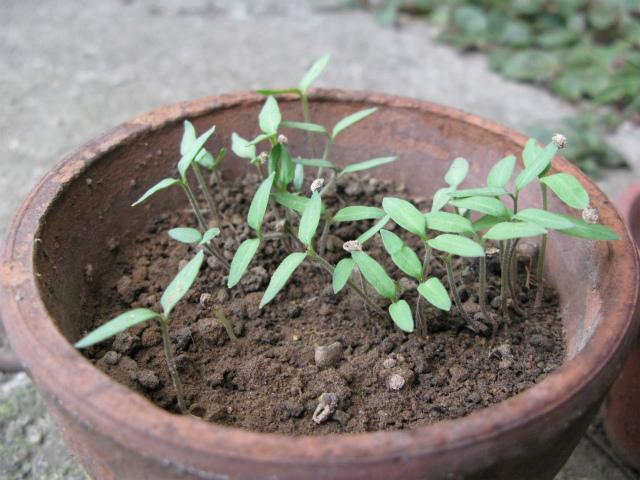 トマト芽が出た!_c0039145_14371570.jpg