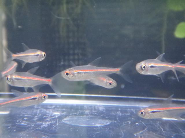 熱帯魚・水草・金魚_f0189122_13174448.jpg