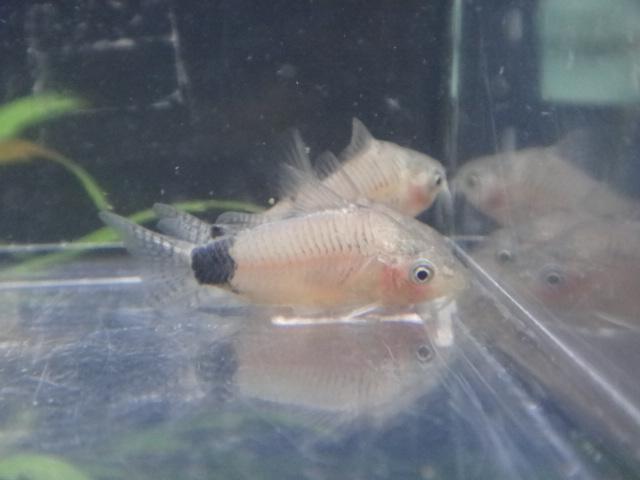 熱帯魚・水草・金魚_f0189122_13253881.jpg