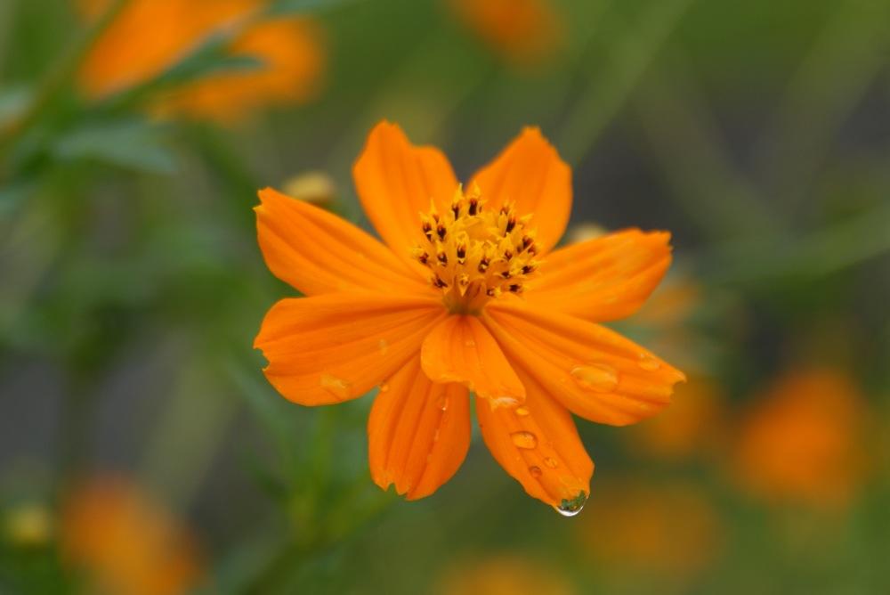 コスモス オレンジ 色