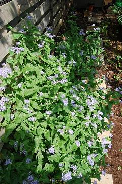 今更な、8月の庭…_c0124100_18325488.jpg