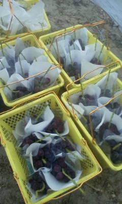 大粒ピオーネの収穫中です。_d0026905_923954.jpg