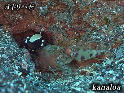 Divehouse Kanaloa  八丈島 ダイビングログ_b0189640_14481664.jpg