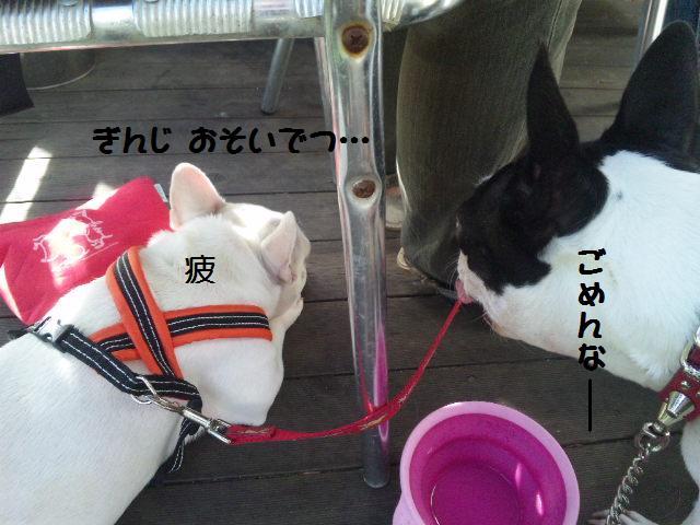 ★はなこはんに逢いに湘南へ ドッグガーデンリゾート編★_d0187891_13563139.jpg