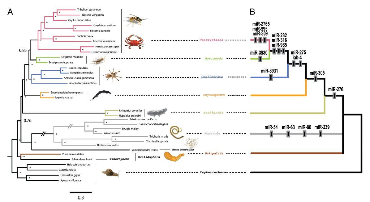 分子データでもつながったクマムシ,カギムシ,節足動物_c0025115_2014428.jpg