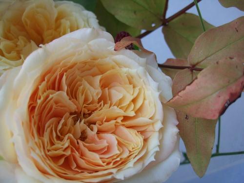 オークリーフ(キャラメルアンティークの花束)_f0049672_16121362.jpg