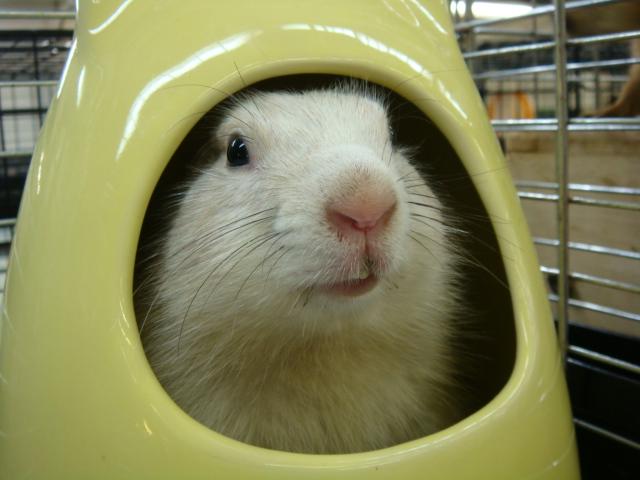 ウサギ・モルモット・ハリネズミ・インコ・ホワイトプレーリードック_f0189122_145011.jpg