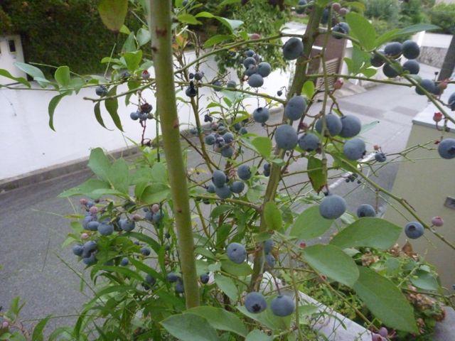 ブルーベリー収穫_b0054727_10321956.jpg