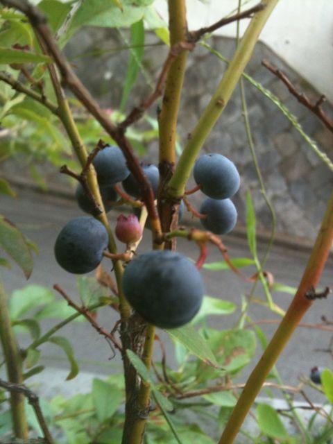 ブルーベリー収穫_b0054727_10354890.jpg