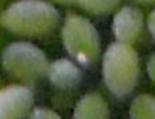 ミジンコウキクサの花が見たくて_e0097534_16424721.jpg