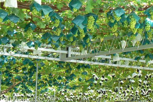 葡萄を買いに山梨へ_b0177649_21514151.jpg