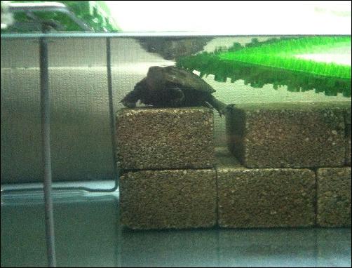 イシガメ水槽の換水_a0083335_5292224.jpg