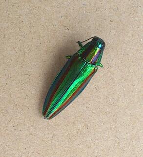 玉虫!_c0157242_4434130.jpg