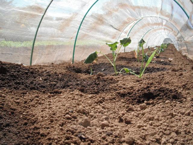 ナスの収穫&定植したブロッコリーに給水&四角豆の収穫_c0222448_12583183.jpg