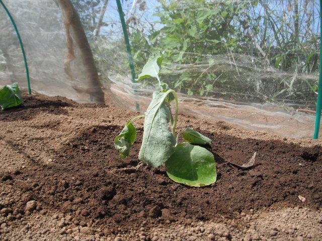ナスの収穫&定植したブロッコリーに給水&四角豆の収穫_c0222448_12583651.jpg