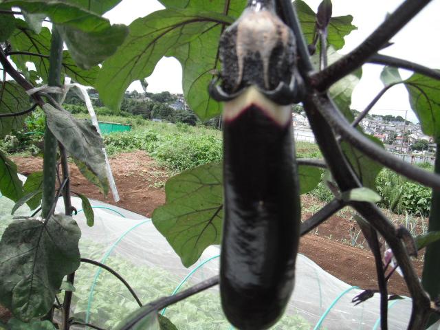 ナスの収穫&定植したブロッコリーに給水&四角豆の収穫_c0222448_1258691.jpg