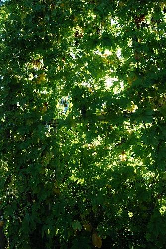これぞ!緑のカーテン_c0124100_062894.jpg