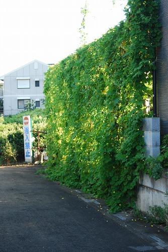 これぞ!緑のカーテン_c0124100_064290.jpg