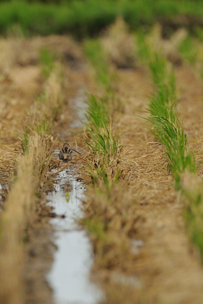 休耕田の水鳥たち(チュウジシギ、タマシギ、トウネン、ムナグロ、クサシギ)_d0099854_23101441.jpg