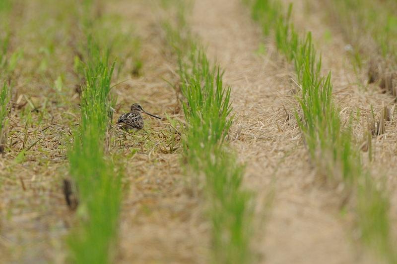 休耕田の水鳥たち(チュウジシギ、タマシギ、トウネン、ムナグロ、クサシギ)_d0099854_23133058.jpg