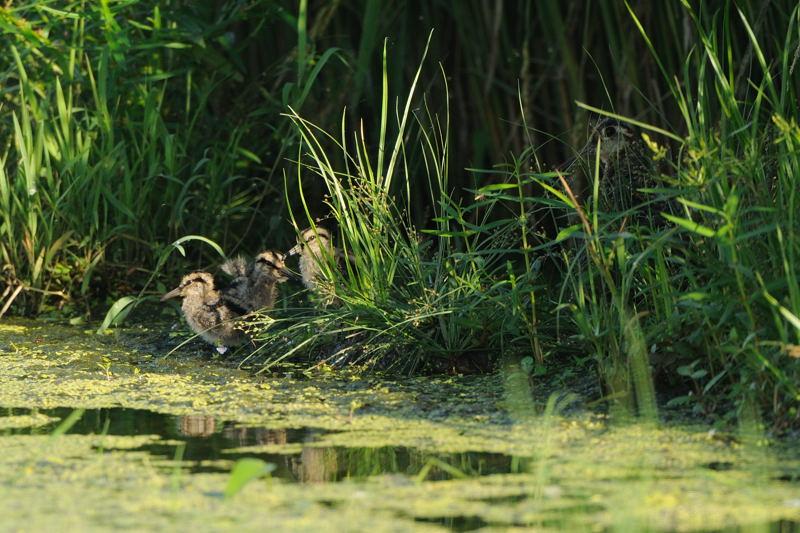 休耕田の水鳥たち(チュウジシギ、タマシギ、トウネン、ムナグロ、クサシギ)_d0099854_2319373.jpg