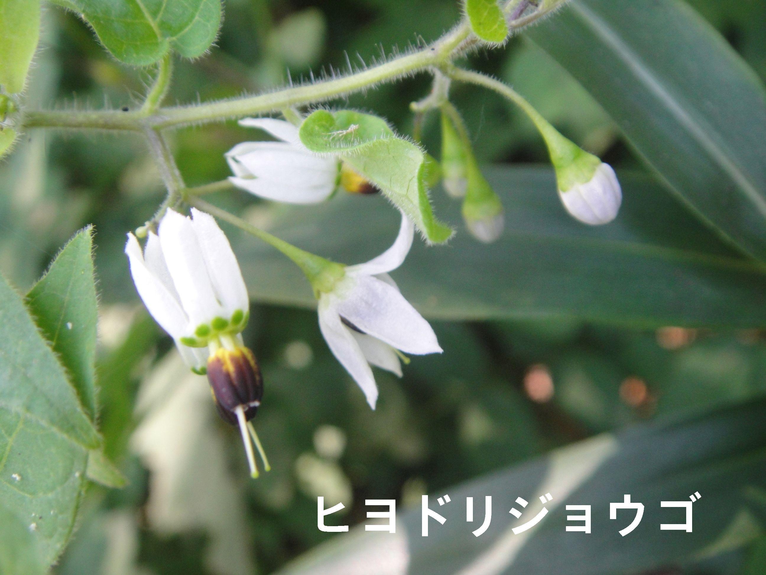 昼間咲いていたカラスウリの花!! in うみべの森H23年9月度植物調査_c0108460_15141892.jpg