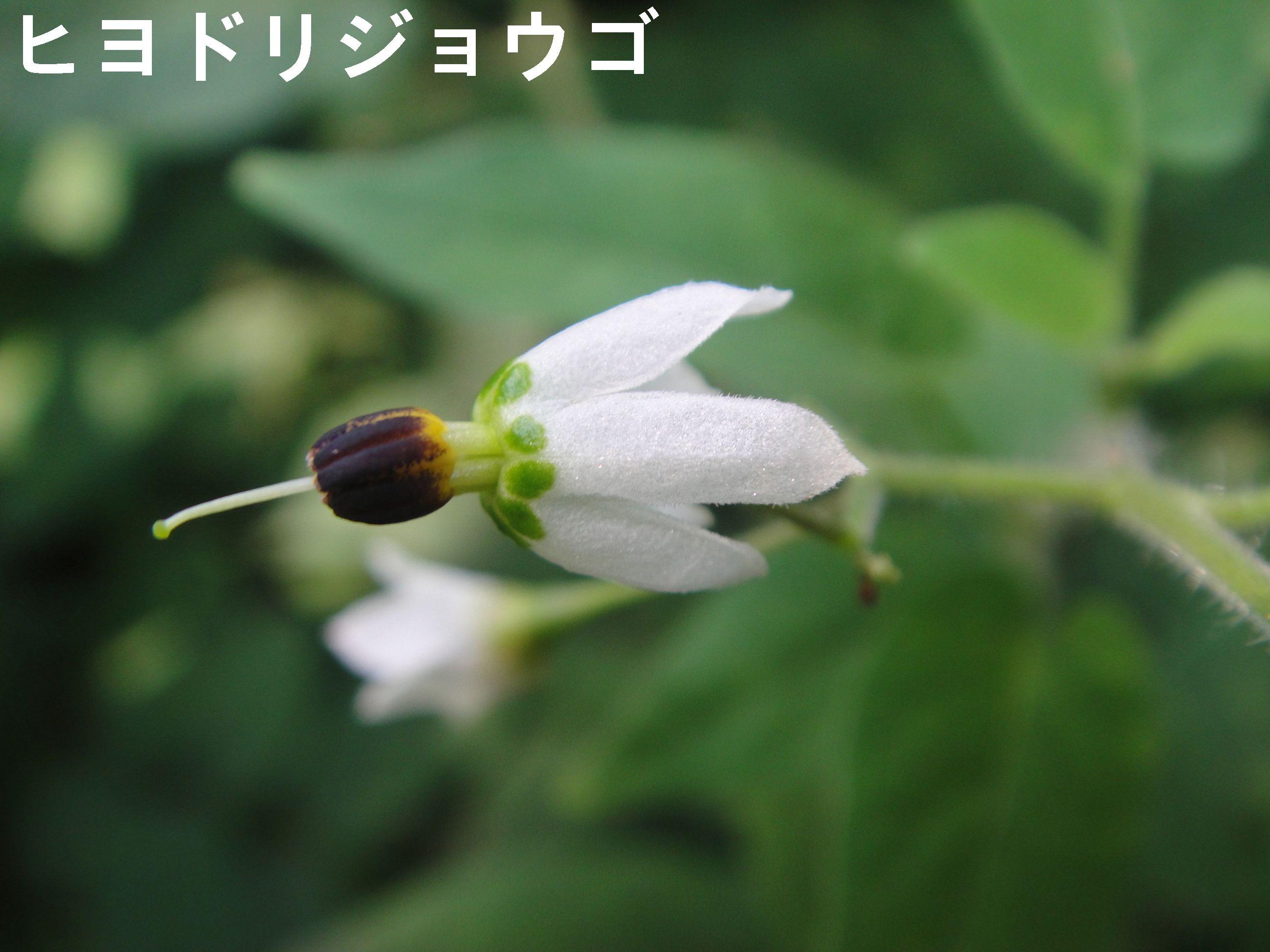 昼間咲いていたカラスウリの花!! in うみべの森H23年9月度植物調査_c0108460_15143923.jpg