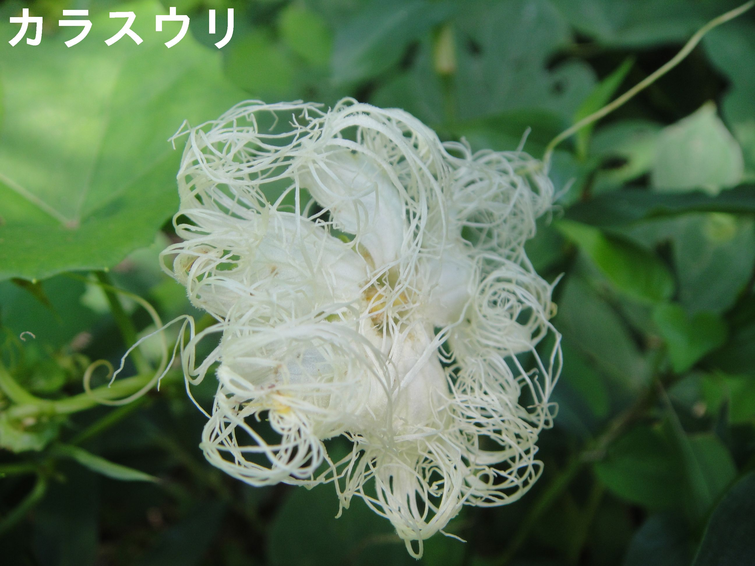 昼間咲いていたカラスウリの花!! in うみべの森H23年9月度植物調査_c0108460_1572650.jpg