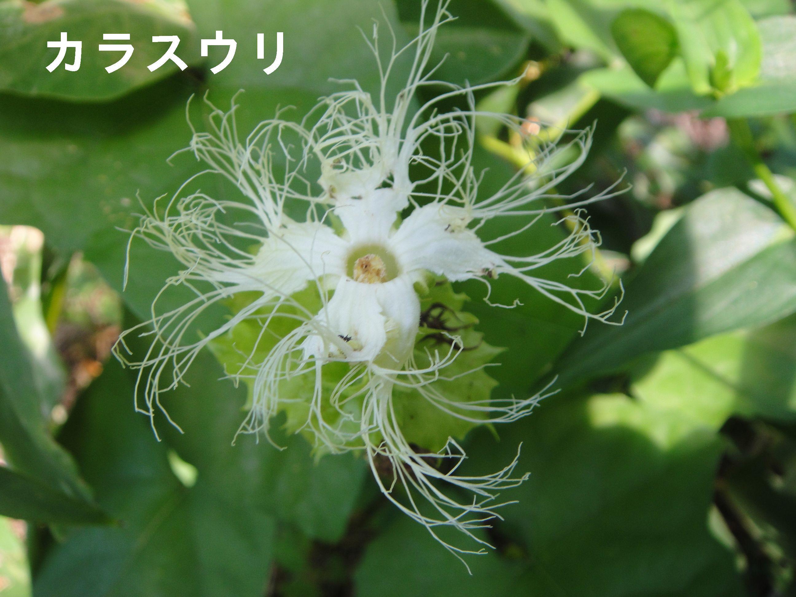 昼間咲いていたカラスウリの花!! in うみべの森H23年9月度植物調査_c0108460_1574458.jpg