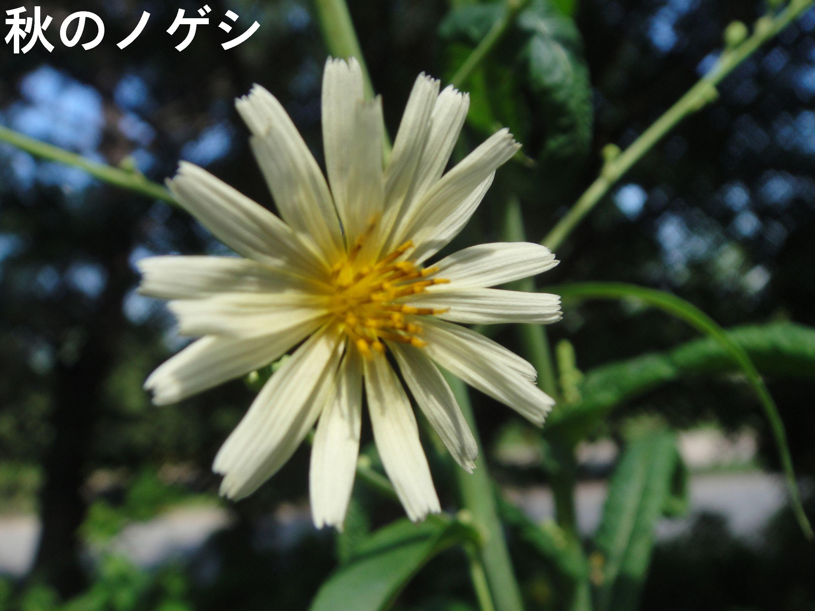 昼間咲いていたカラスウリの花!! in うみべの森H23年9月度植物調査_c0108460_1581399.jpg