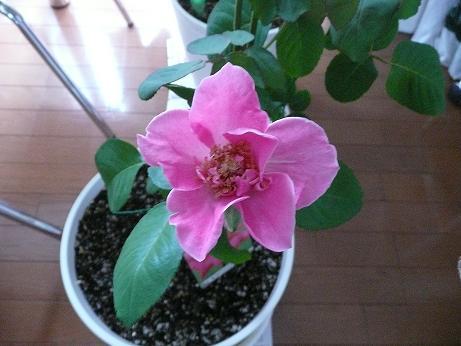 バラの花輪がどんどん大きくなっていく_f0186787_20214338.jpg