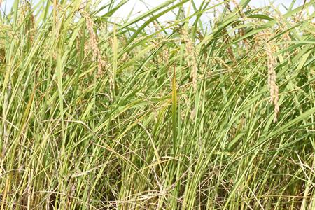 稲刈り2011_d0063218_14115785.jpg