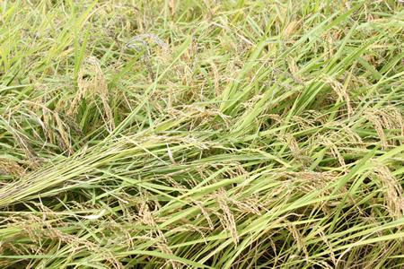 稲刈り2011_d0063218_14122295.jpg