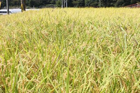 稲刈り2011_d0063218_14124584.jpg