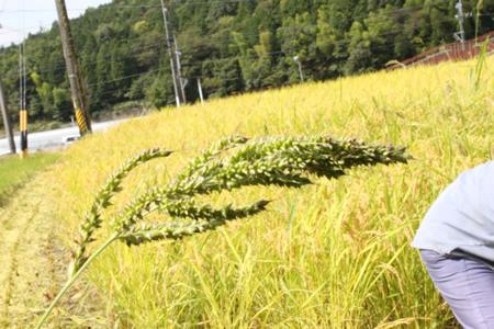 稲刈り2011_d0063218_1414489.jpg