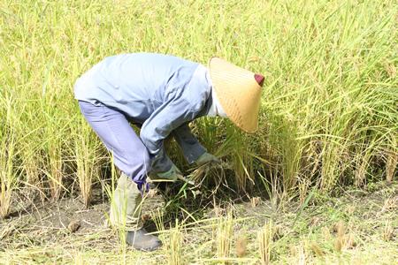 稲刈り2011_d0063218_1484448.jpg