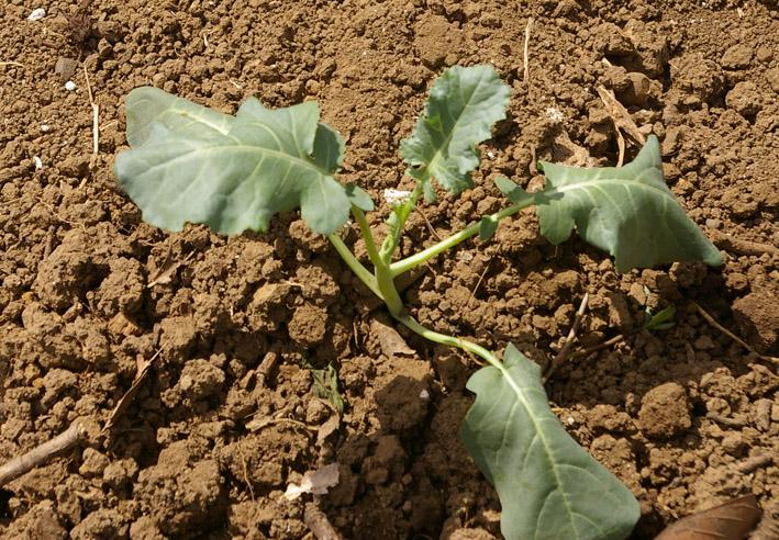 残暑の中、大根、キャベツ、タマネギの種まき済ませる9・16_c0014967_18283136.jpg
