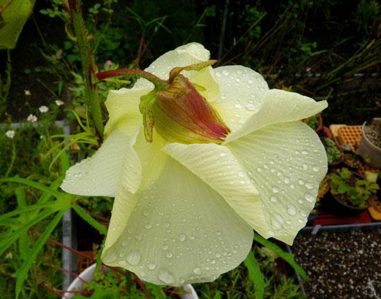 雨の朝に、トロロアオイの花が咲いたよ♪_a0136293_12215518.jpg
